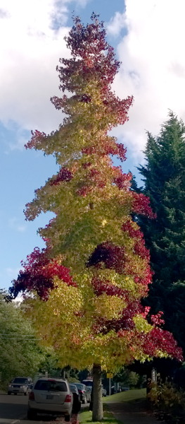 So many colors -- red, yellow, gold, brown, and green, all on this one tall tree