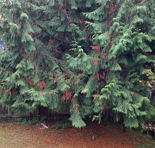 What are these brown boughs on cedar tree in my backyard